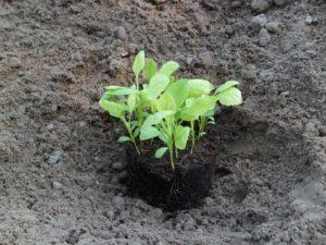 Вербена выращивание из семян