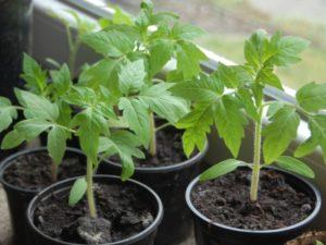 Благоприятные дни для посадки помидоров в 2017 году