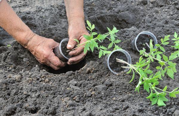Благоприятные дни для высадки рассады помидоров в грунт