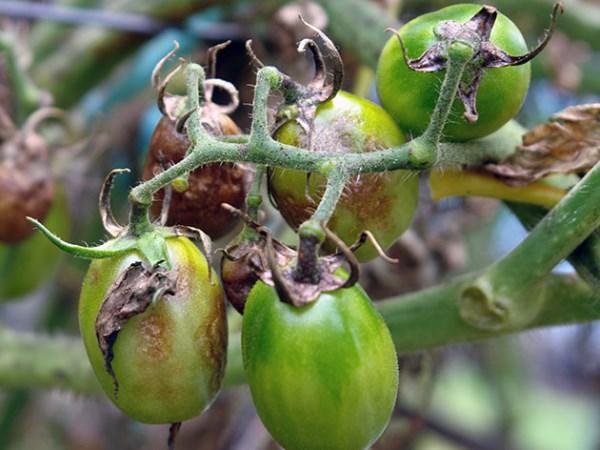 Фитофтороз на помидорах