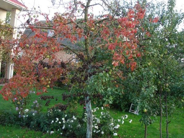 Почему у груши краснеют листья