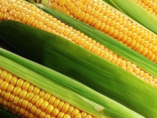 Кукуруза: характеристика, виды, описание, биологические особенности