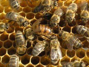Племенная работа в пчеловодстве