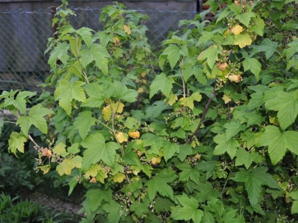 Желтеют листья смородины