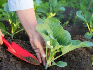 Чем подкормить капусту