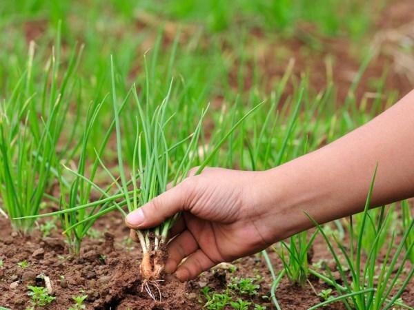 Посадка лука семенами на севок