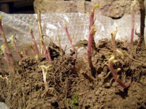 Размножение хризантем делением куста и семенами