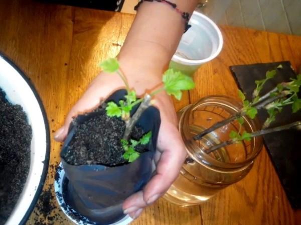 Размножение смородины черенками