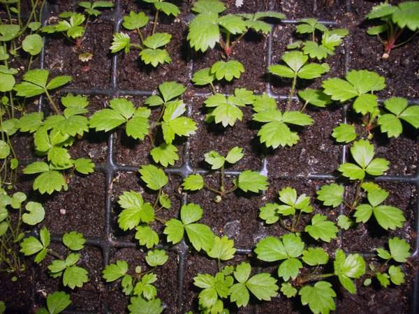 Размножение земляники семенами