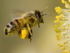 Роль пчел в опылении трав
