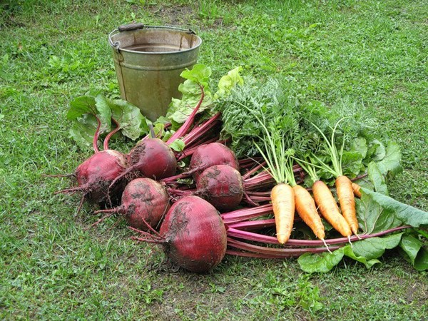 Уборка моркови и свеклы