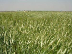 Удобрение яровой пшеницы