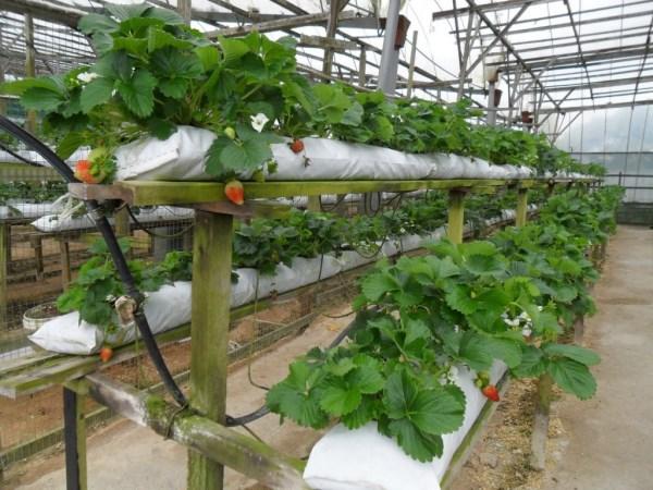 Технология выращивания клубники в мешках