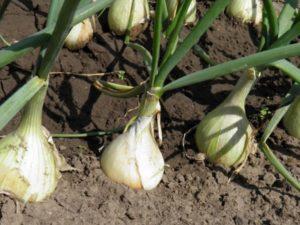 Выращивание лука репчатого