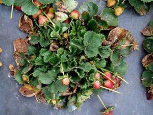 Почему сохнут листья у клубники