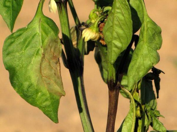 Почему опадают листья у перцев