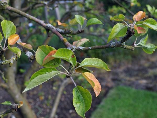 У яблони скручиваются листья: что