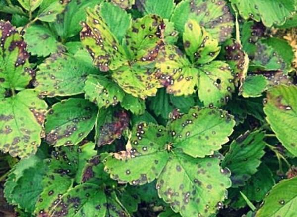 Пятнистось листьев клубники