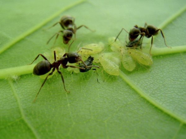 Тля и муравьи на огурцах