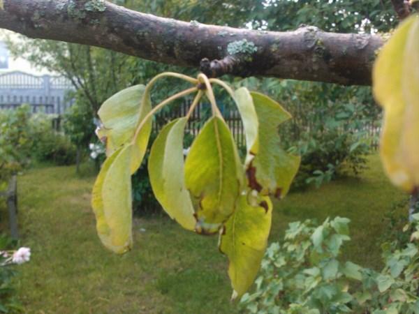 Желтеют листья у груши