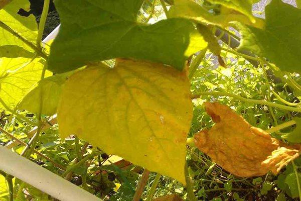 Листья огурцов пожелтели