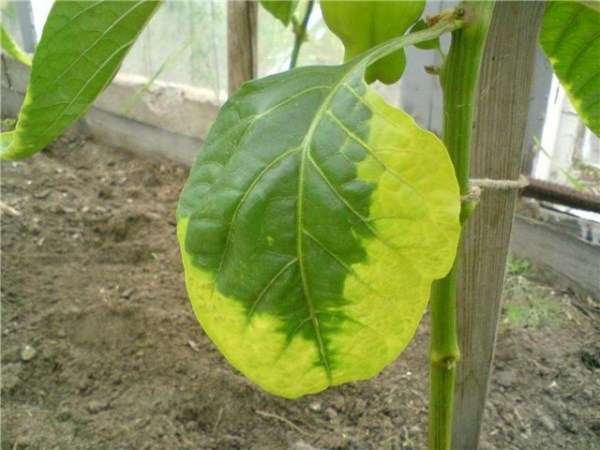 Желтеют листья перца
