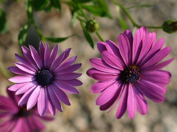 Арктотис: посадка и выращивание из семян