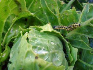 Гусеницы на капусте – как бороться, чтобы не потерять урожай