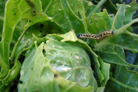 Гусеницы на капусте – как бороться