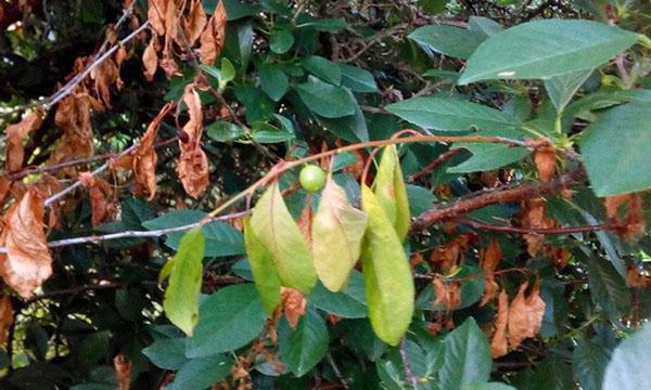 Сохнут листья на вишне