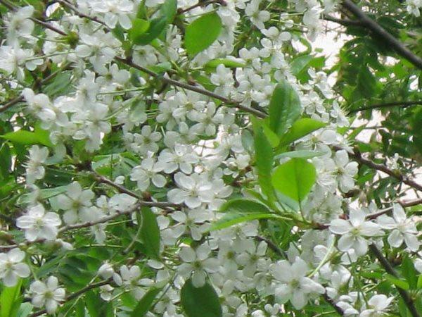 Вишня цветет, но не плодоносит