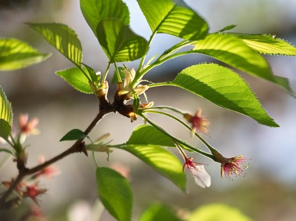 Вишня цветет.но не плодоносит что делать