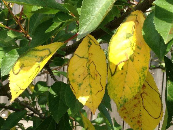 Почему желтеют листья вишни
