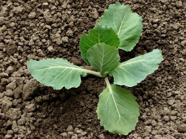 Нужно ли обрывать нижние листья у капусты