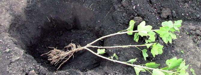 Подготовка почвы и посадочной ямы