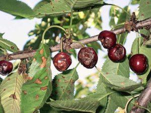 Как лечить монилиоз вишни