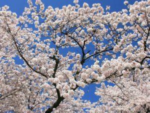 Обрезка вишни — советы и рекомендации