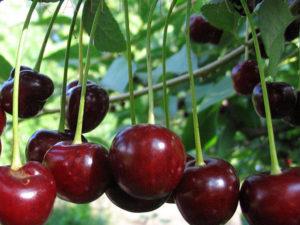 Болезни вишни — виды, описание и способы лечения