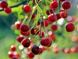 Подкормка вишни осенью и летом