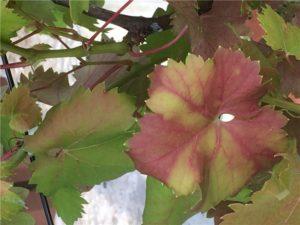 Почему красные листья у винограда