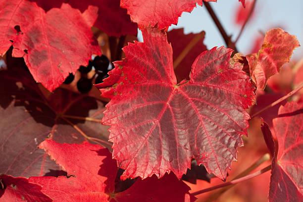 Покраснели листья винограда: нехватка микроэлементов, насекомые или грибок?
