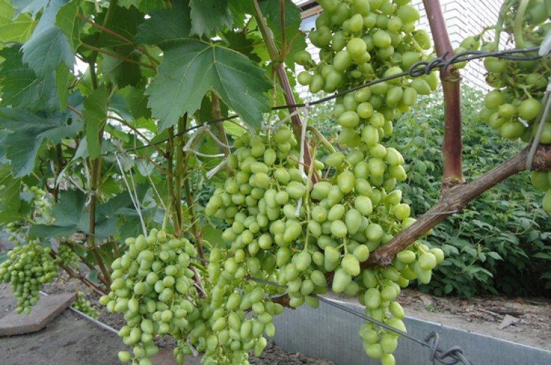 Перегрузка винограда растительностью