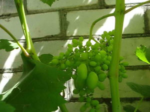 Горошение винограда: причины и методы решения проблемы