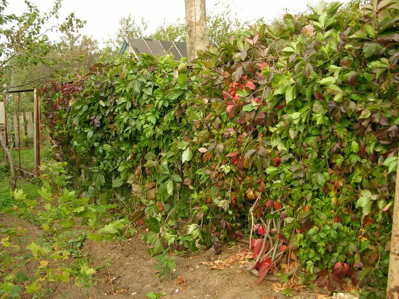 Дикий виноград