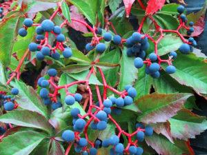 Как избавиться от дикого винограда на участке, если он стал злостным врагом