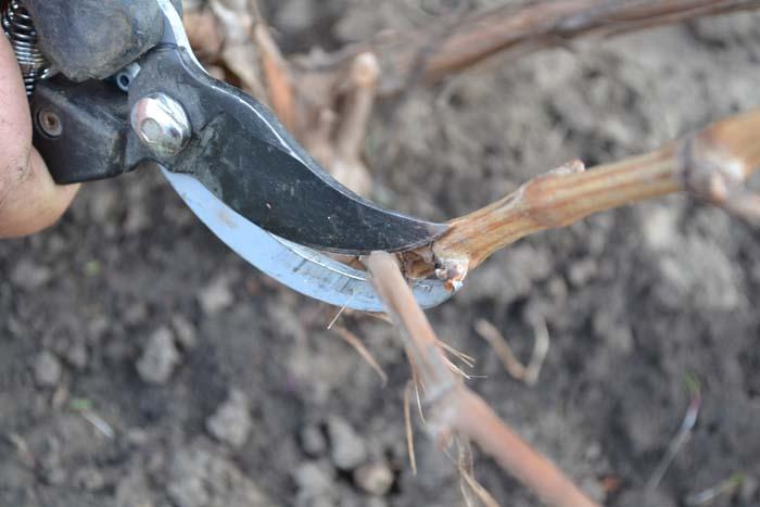 Обрезка двухлетнего винограда – важный этап формирования куста