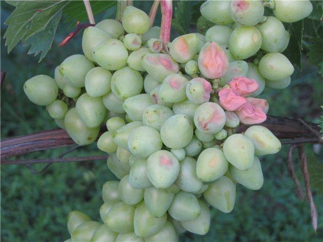 Болезни винограда, лечение
