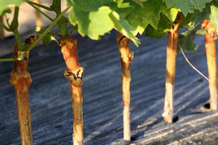 Что потребуется для прививания винограда