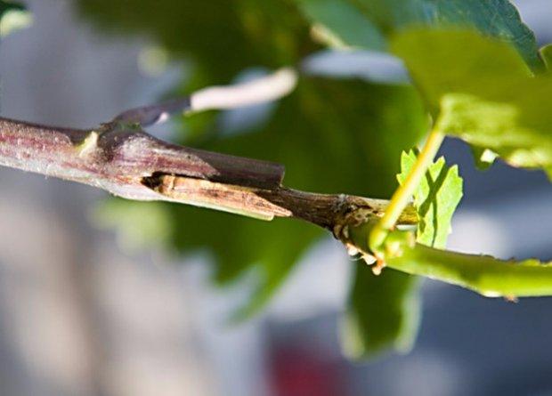 Можно ли прививать виноград круглый год