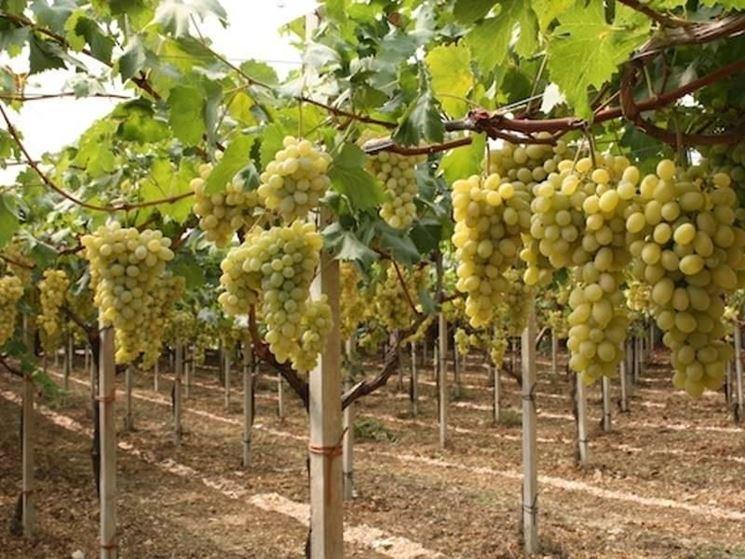 Как правильно прививать виноград: сроки, требования и способы